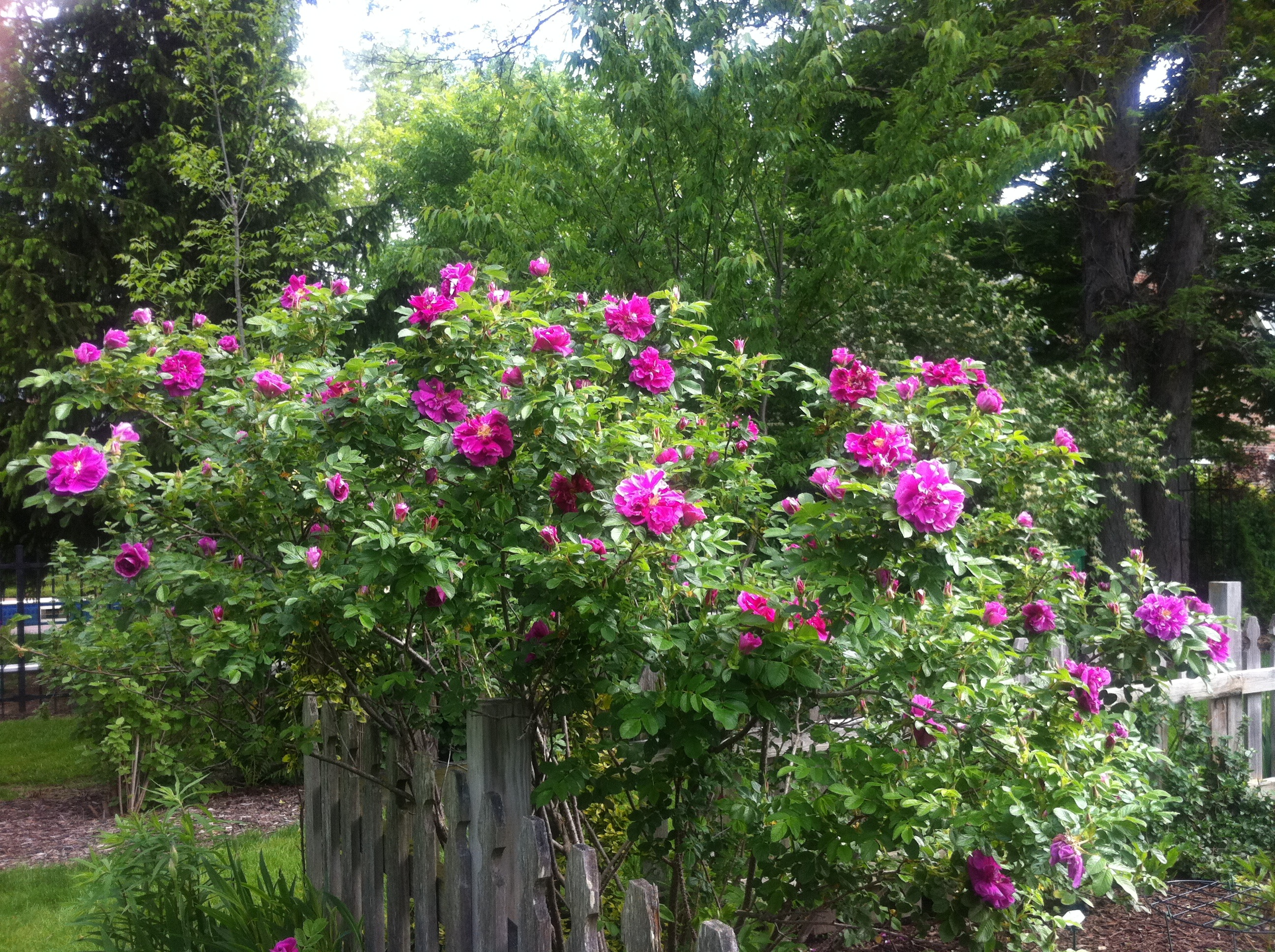 The Charm Of Rugosa Roses The Garden Diary