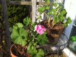 Geranium I wintered over in the Potting Shed.