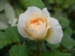 David Austin Crocus Rose Bud