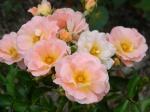 Peach Drift Rose ... Lovely fragrance.