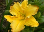 Ed Brown Daylily