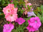 Pink Supreme Carpet Rose and wave petunias