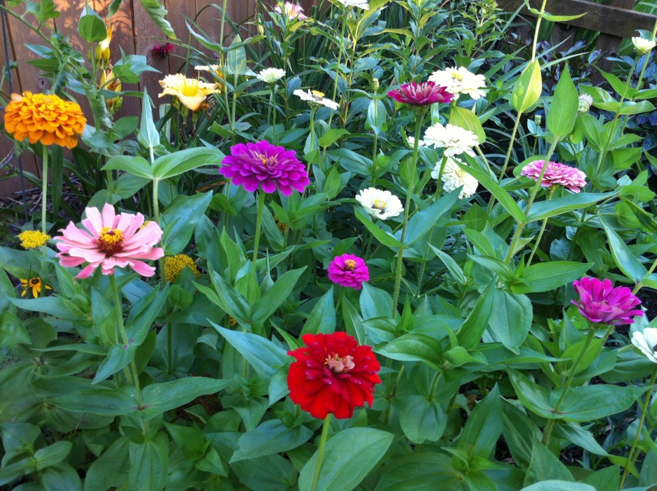 Zinnias love the heat!