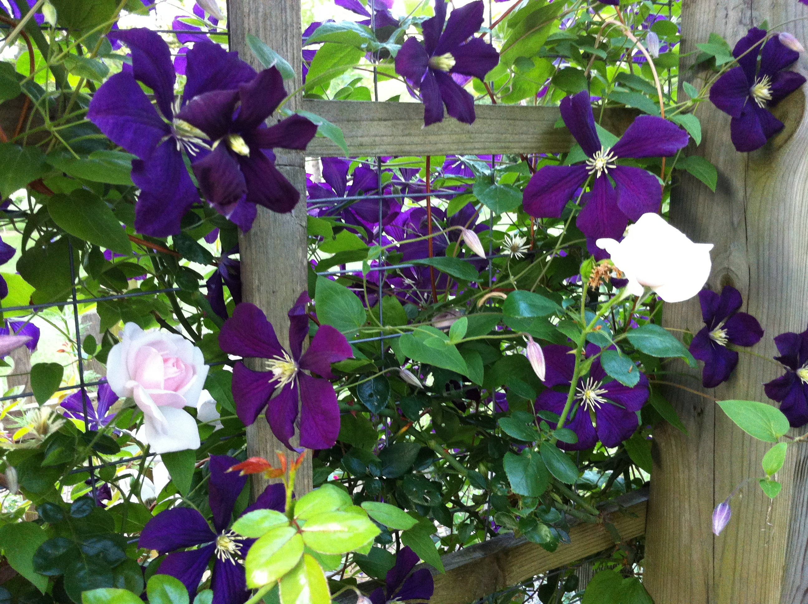 Roses In Garden: Rose Companions: Clematis