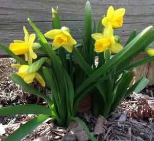 Tete e Tete Daffodils