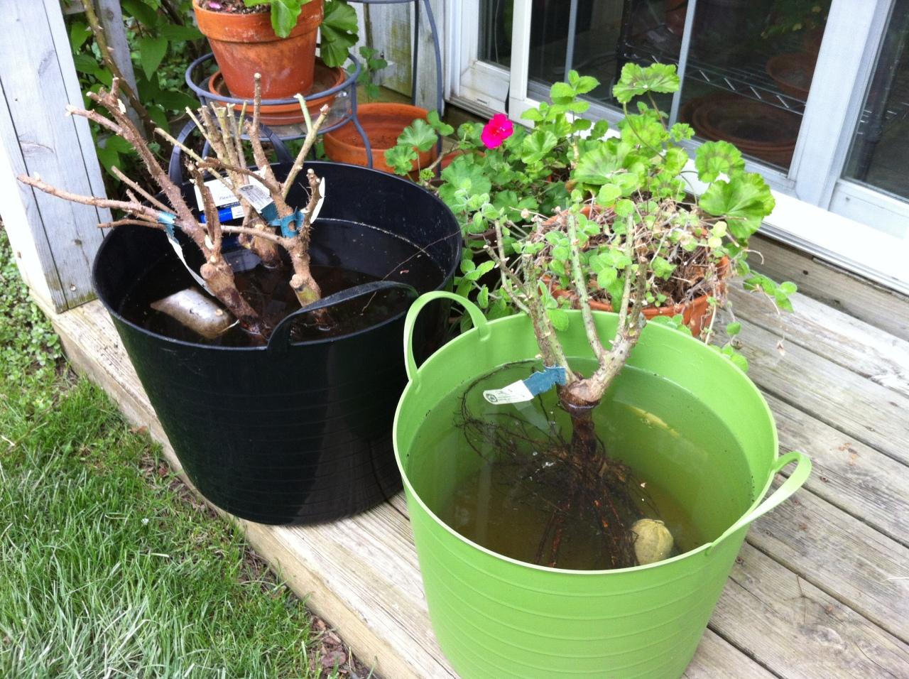 Bare roots soaking in Moo Poo Tea...