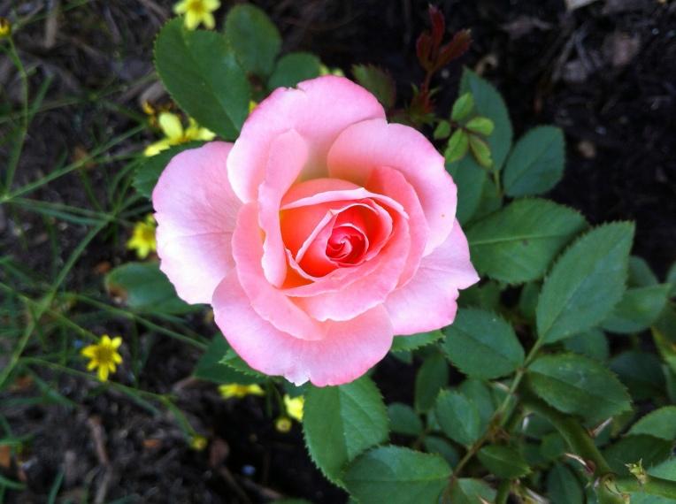 Moonbeam Coreopsis around pink rose...