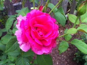 The Grande Dame in my garden Summer 2012