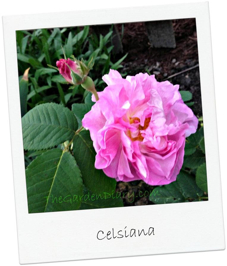 Celsiana_2