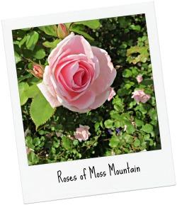 Rosesof Moss Mtn_POL