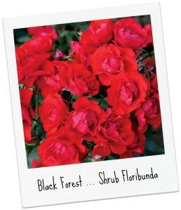 BlackForest_001