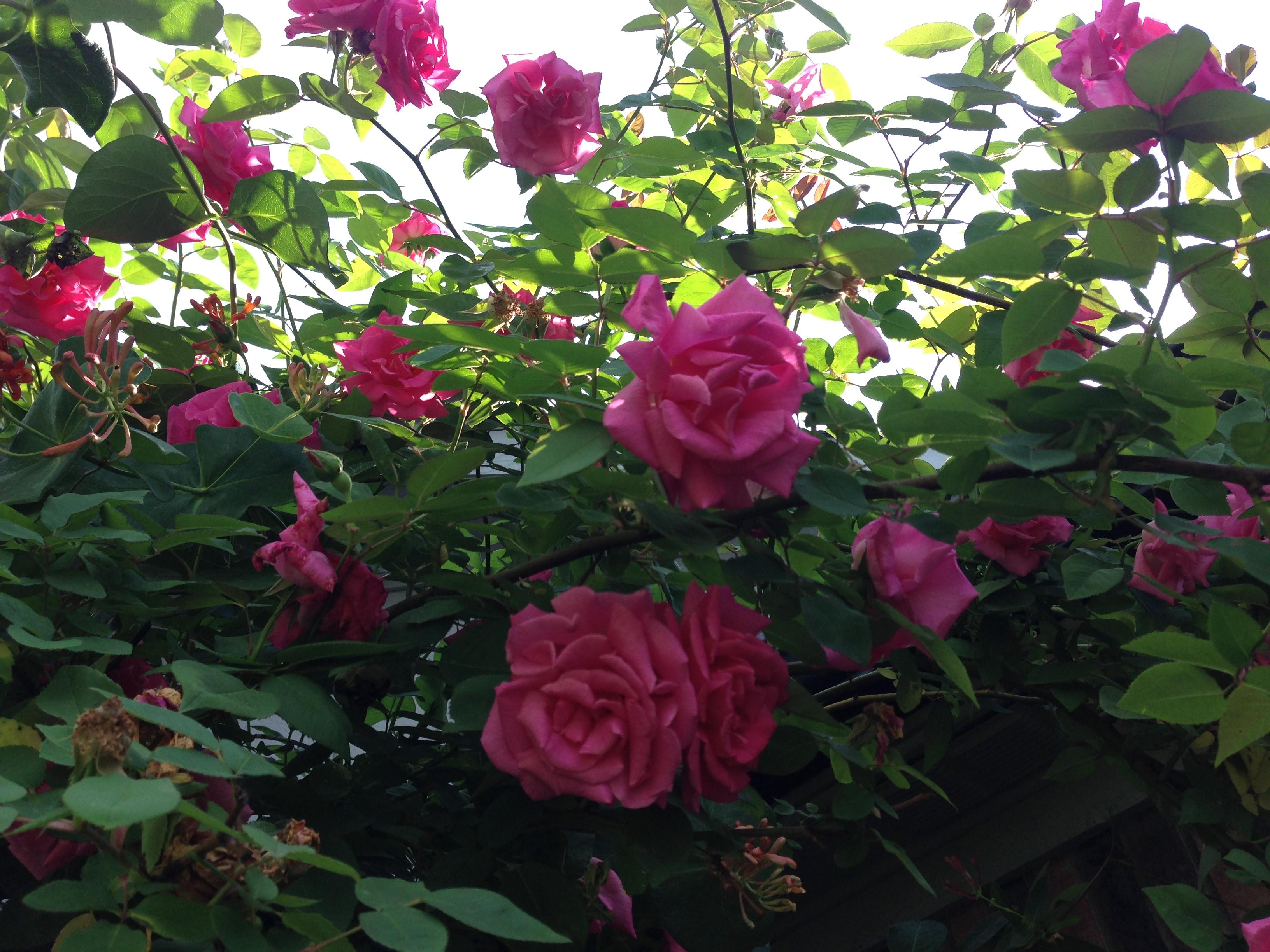 Zephirine Drouhin Climbing Rose a rose a day: zephirine drouhin – the garden diary