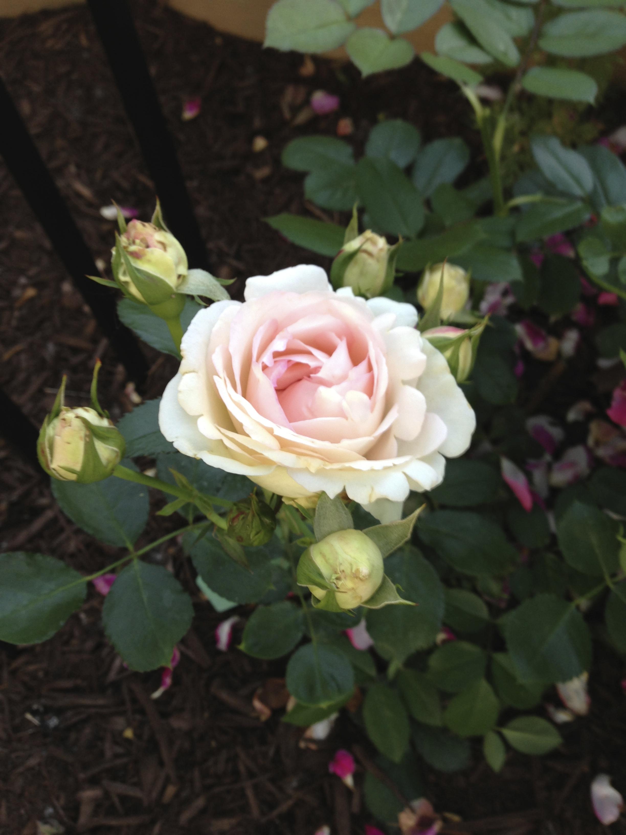 A Rose A Day Gruss An Aachen The Garden Diary