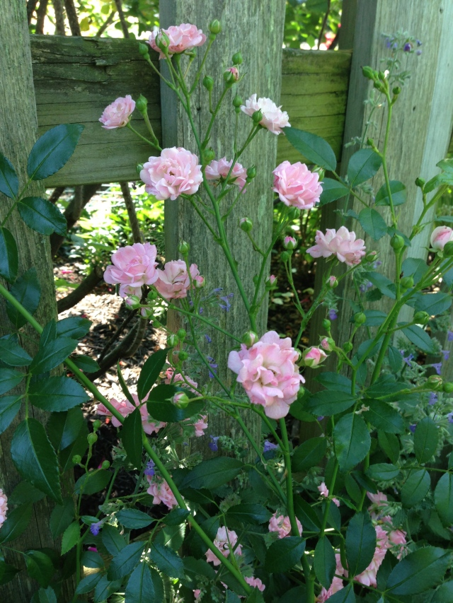 The Fairy Rose peaking through the fence.