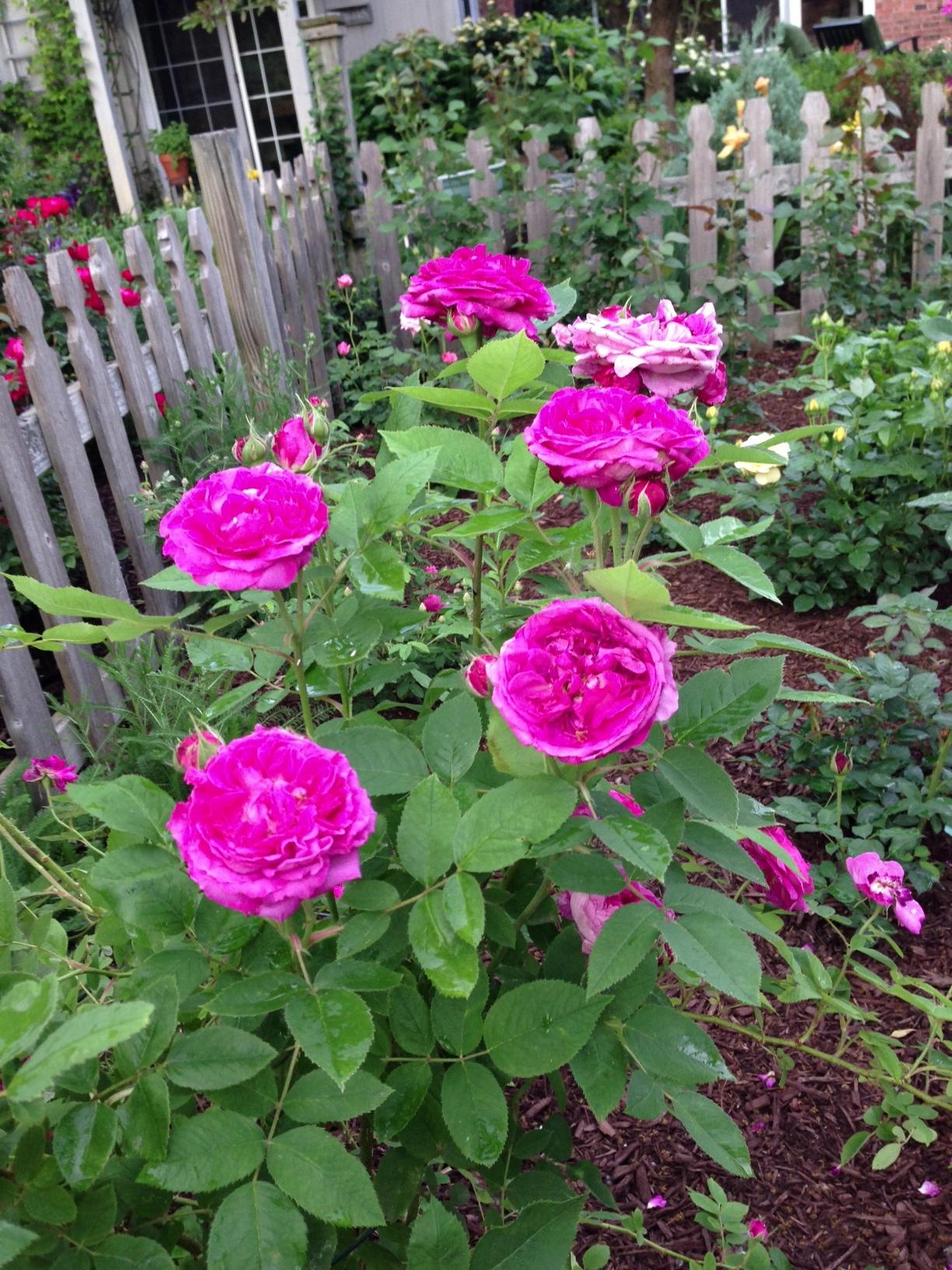 Reine des Violette – The Garden Diary