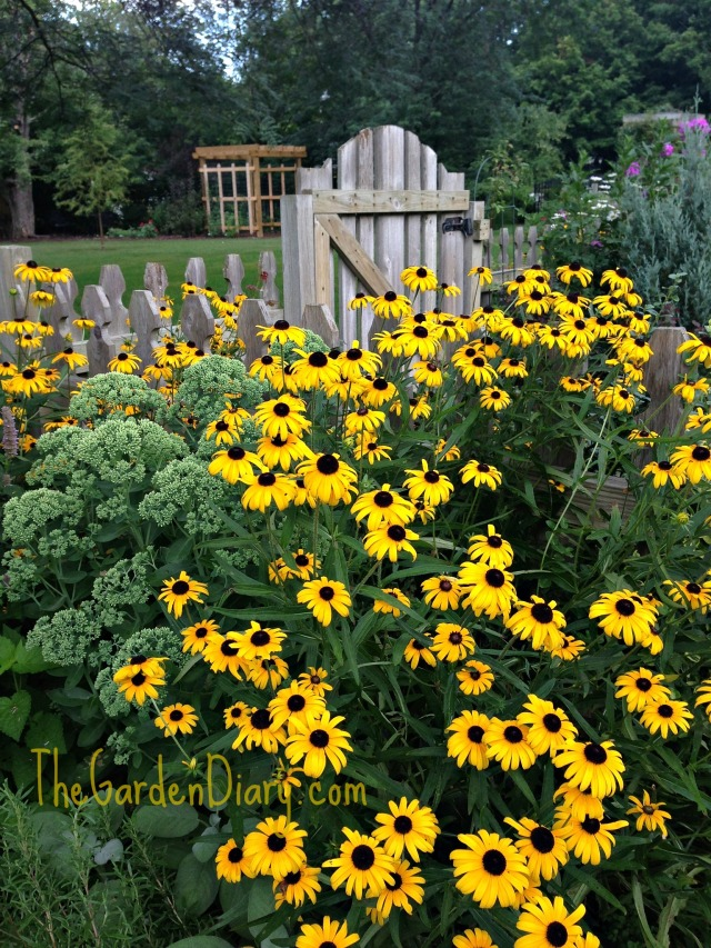Blackeyed Susan making a statement!
