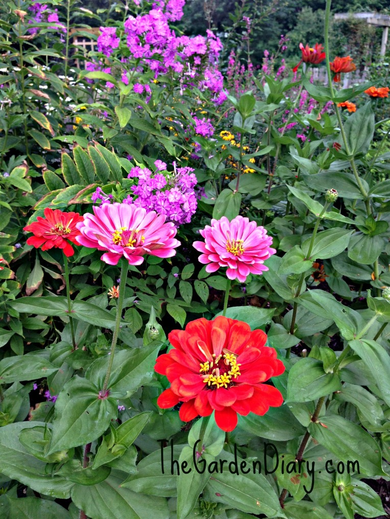 State Fair Zinnias ... THANKS RON!