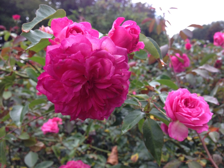 Flamenco... from Peter Beale's Roses