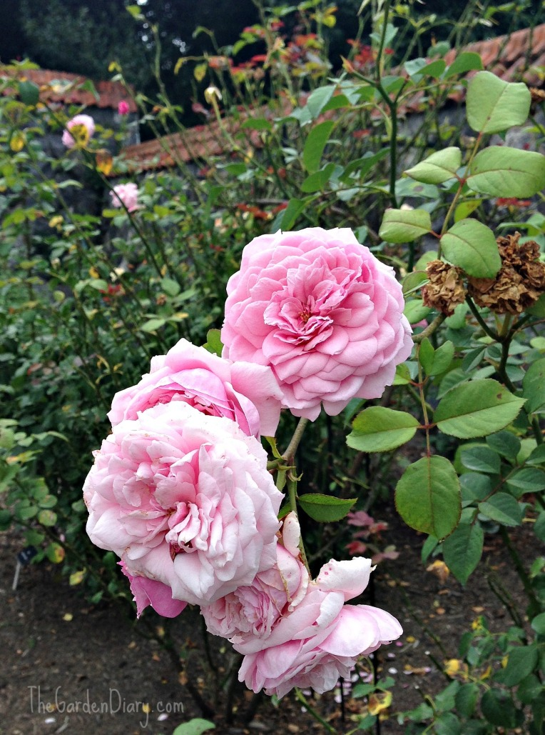 Mike Athy's pink rose ... very fragrant!