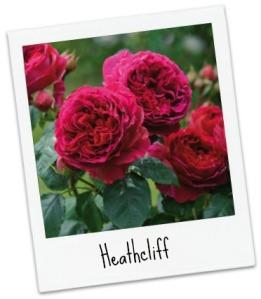 Heathcliff_Pol