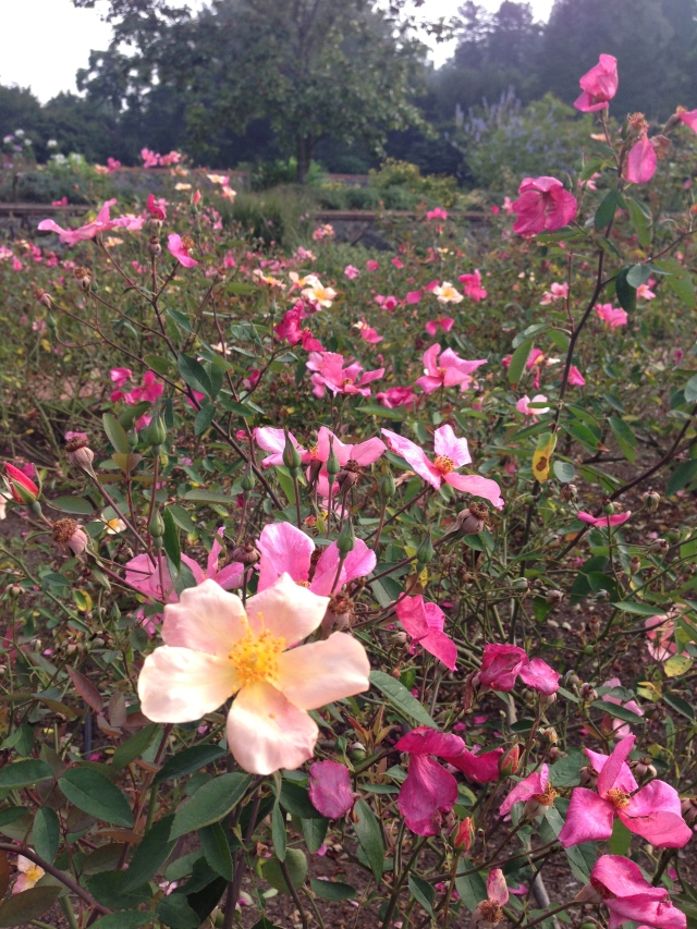 Mutabilis at the Biltmore Rose Garden