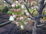 Chanticleer Pear getting ready to bloom...
