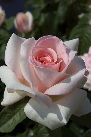Francis Meilland (Picture courtesy Star Roses and Plants)