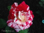 The new Neil Diamond Rose from Weeks Roses ... STUNNING!