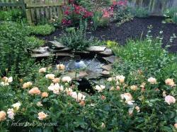 Amber Carpet Roses around the fish pond.