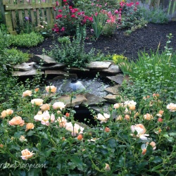 Amber Carpet Roses around the fish pond.