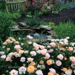 Amber Carpet roses that surround the fish pond