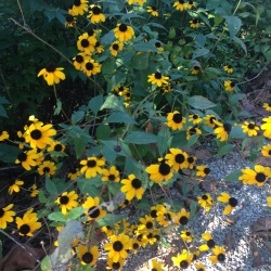 Brown-eyed Susan...