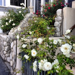 A stunning entrance from the beach to a home.... roses EVERYWHERE!