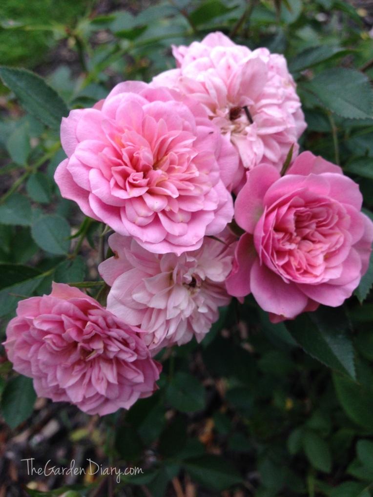 Petit Pink