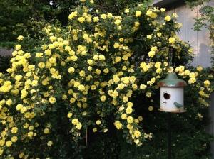 Harison's Yellow