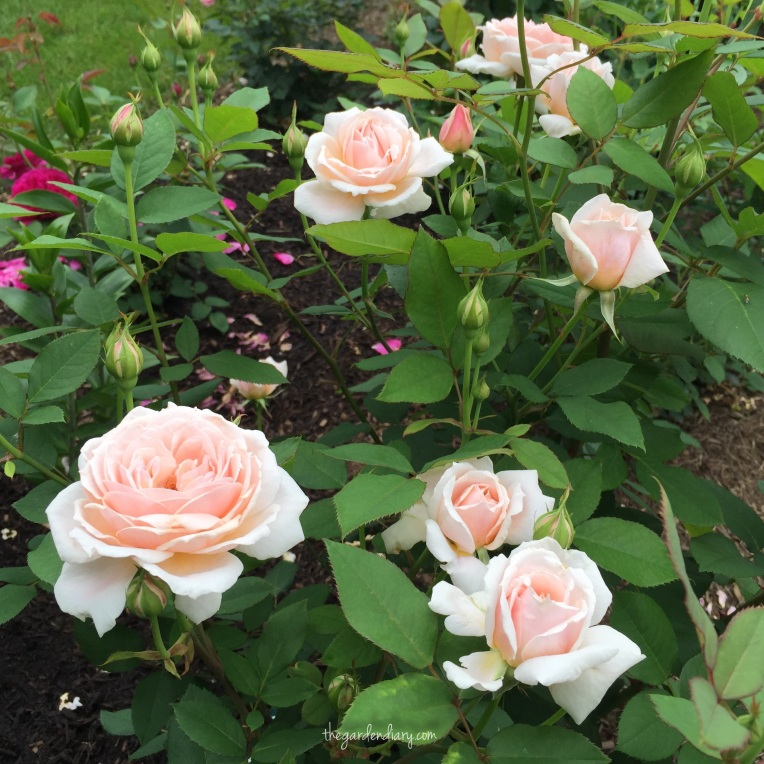 Dr. Buck's Quietness is out of the world this week. This rose is a part of he Earth Kind series.