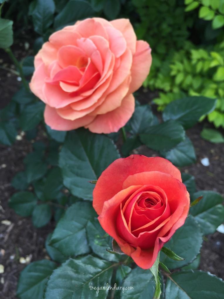 Anna's Promise Grandiflora Hybridizer: Tom Carruth  Easy Care Fragrant