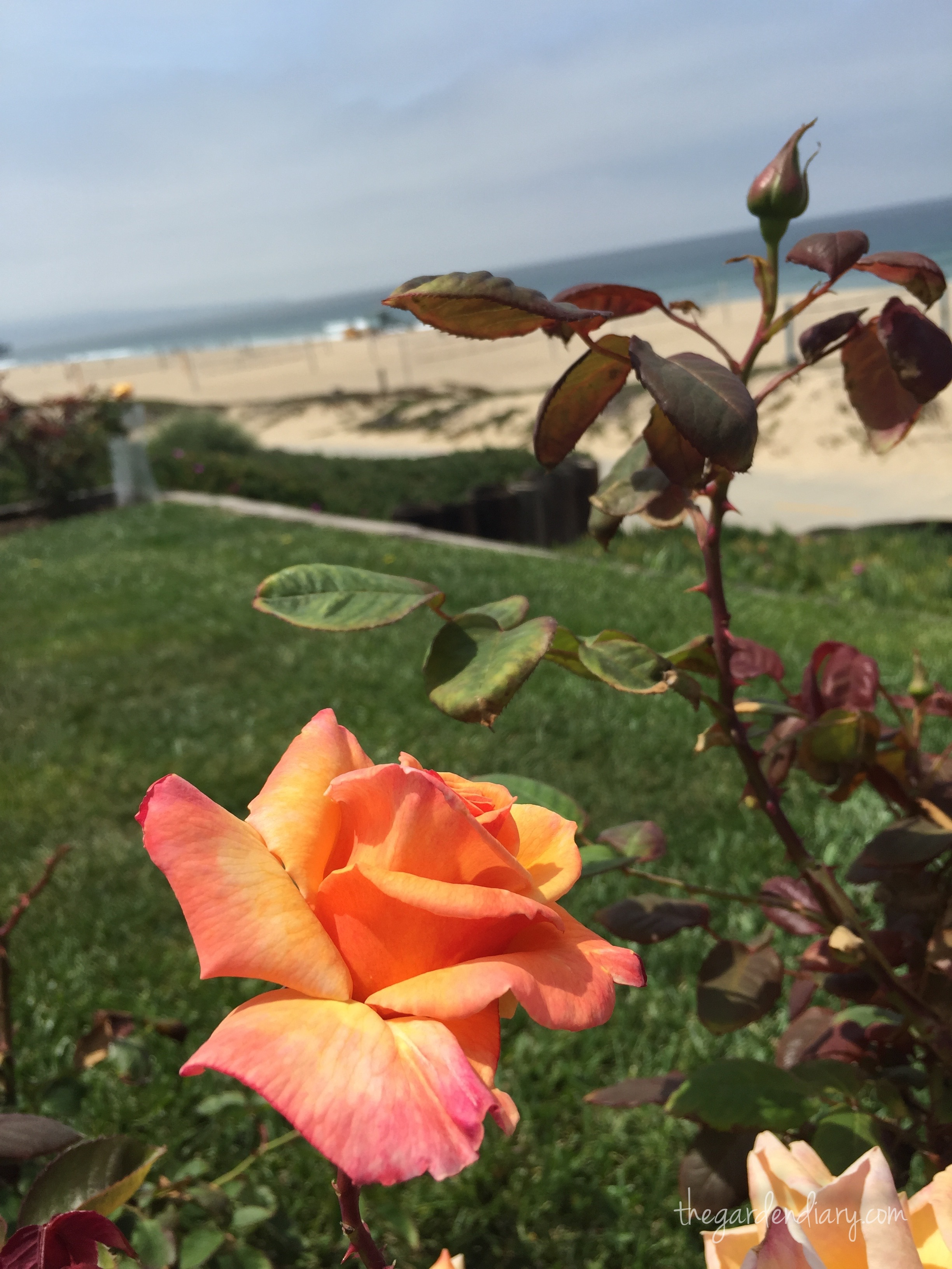 Roses In Garden: Rose Buzz: Roses With An Ocean View…