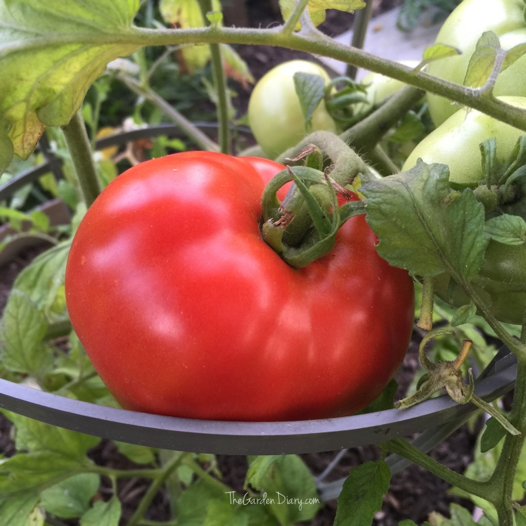 Mr. G's first tomato of the season. Can't begin to tell you how good it was on our BLT. :)