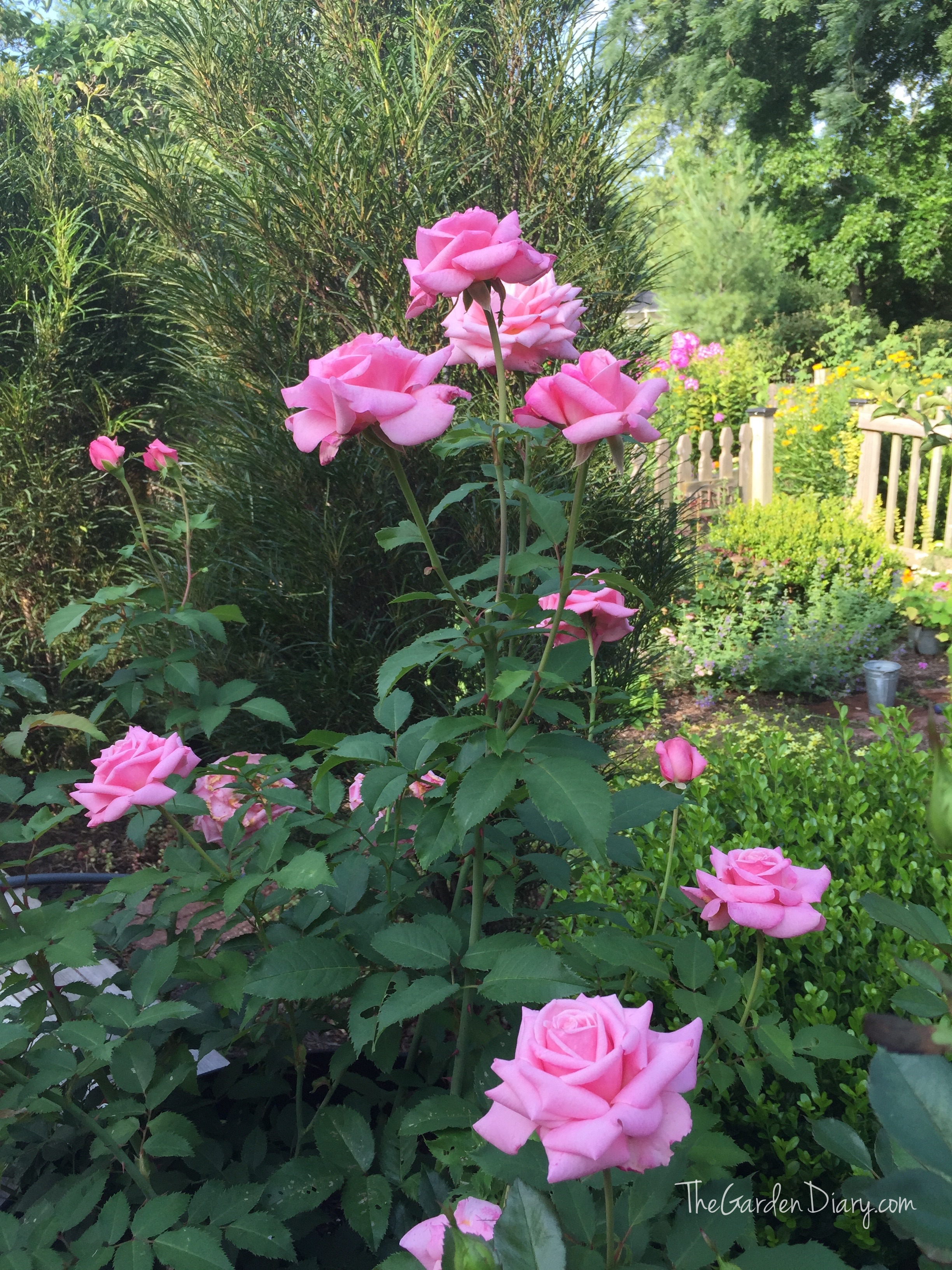 DAVID AUSTIN ROSES – The Garden Diary