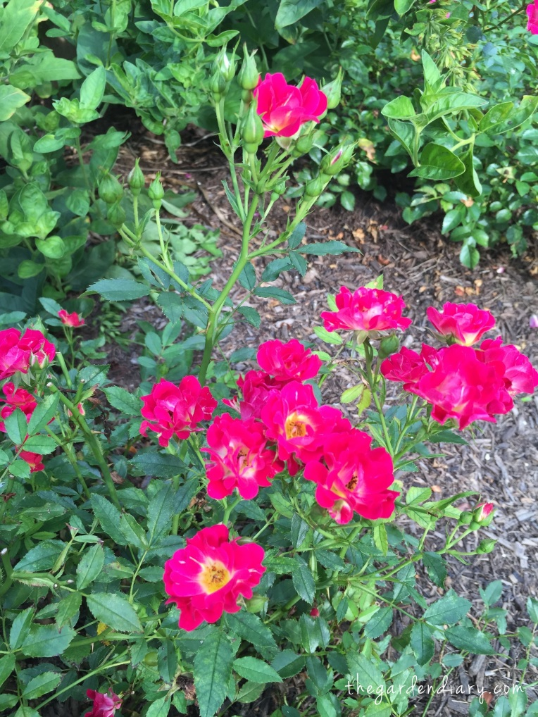 Red Drift (Star Roses & Plants) Rarely without bloom!
