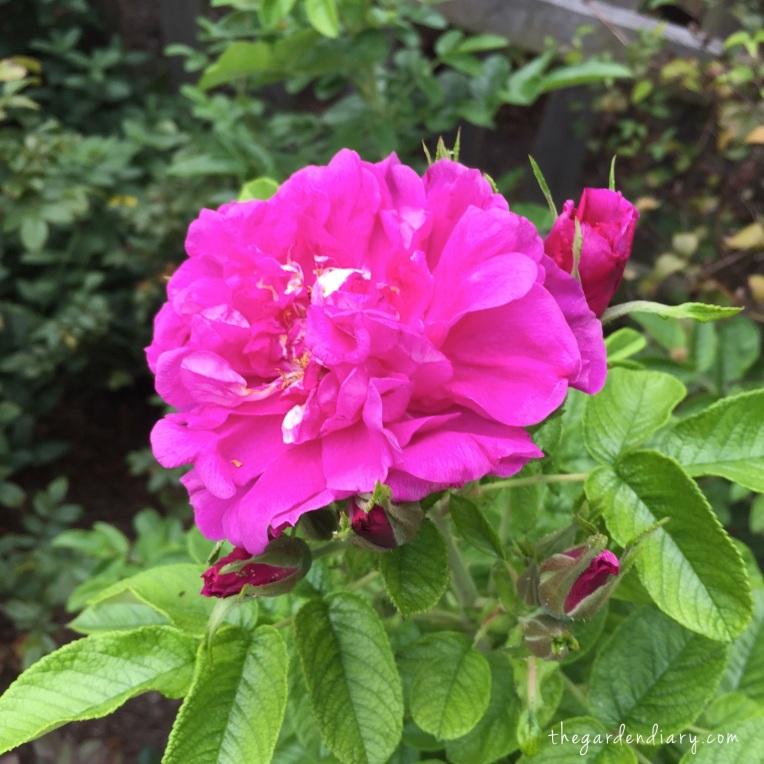 Roseraie de la Hay Rugosa - sending up springlike blooms. FRAGRANT