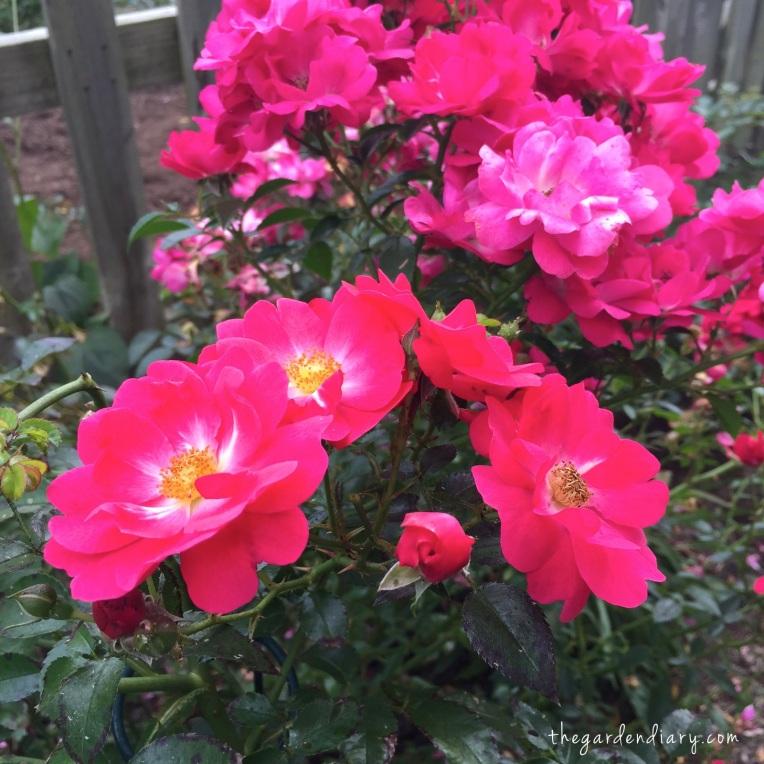 Pink Carpet Rose