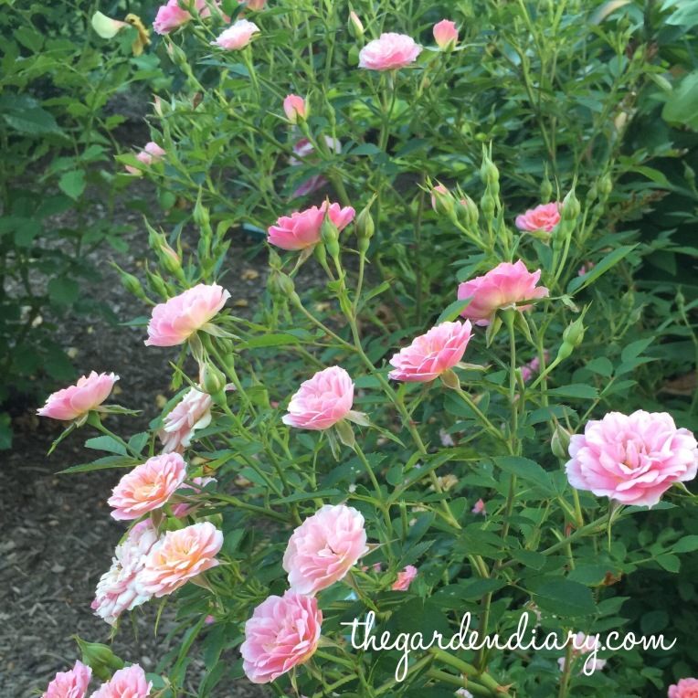 Petit Pink from Proven Winners OSO Happy Series ... A David Zlesak rose!