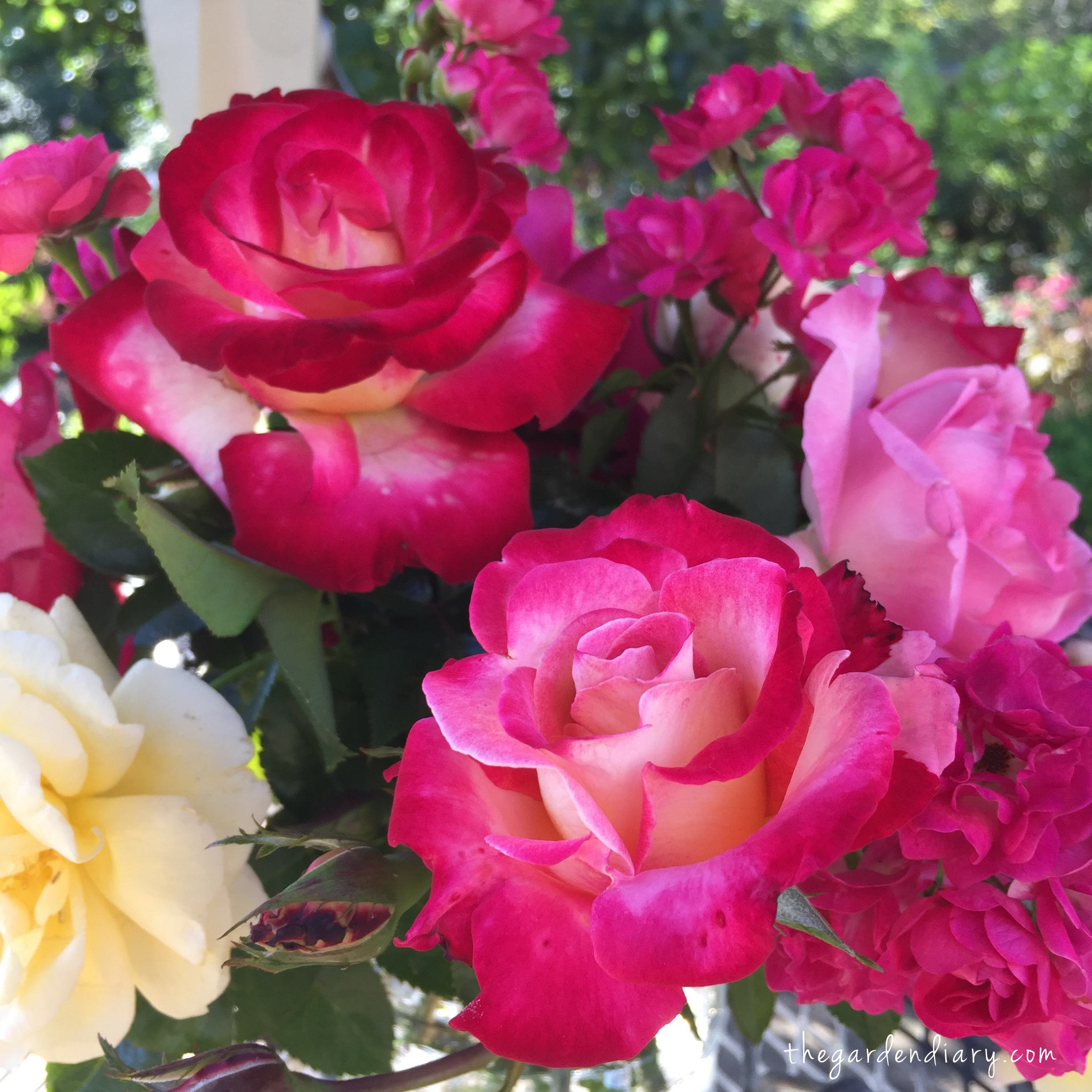 Top Roses for the Midwest