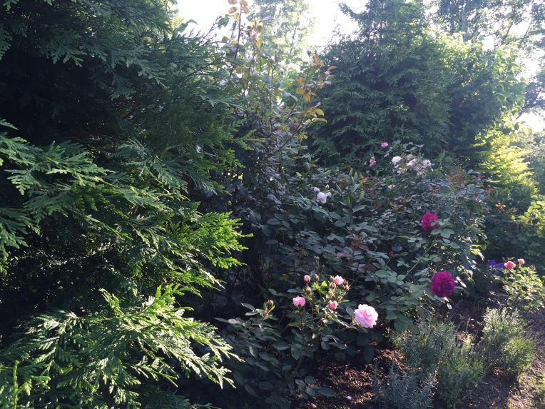 These roses are hiding out from the Japanese Beetles
