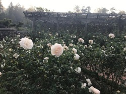 Fog and roses ... a winner every time!