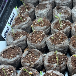 Tomato seed germination - OH HAPPY DAY