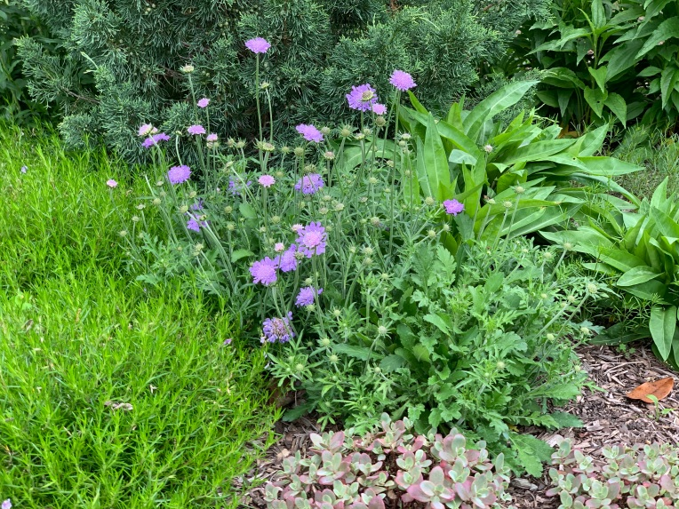 Pretty little purple pincushions holding their own amoung all the green. (Scabiosa)